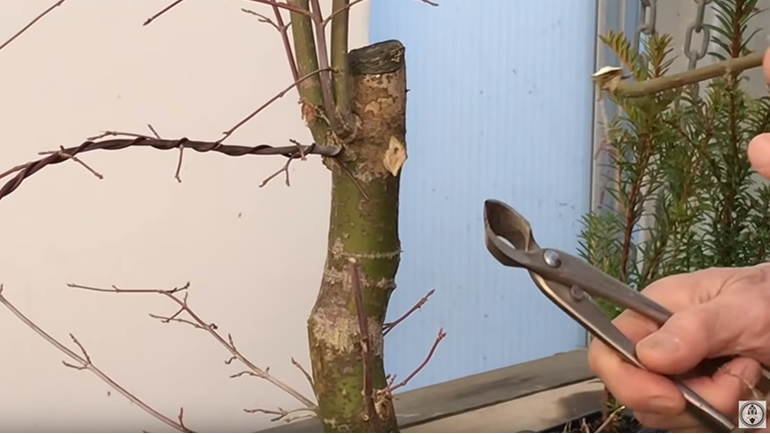cut bonsai branch and branch cutter