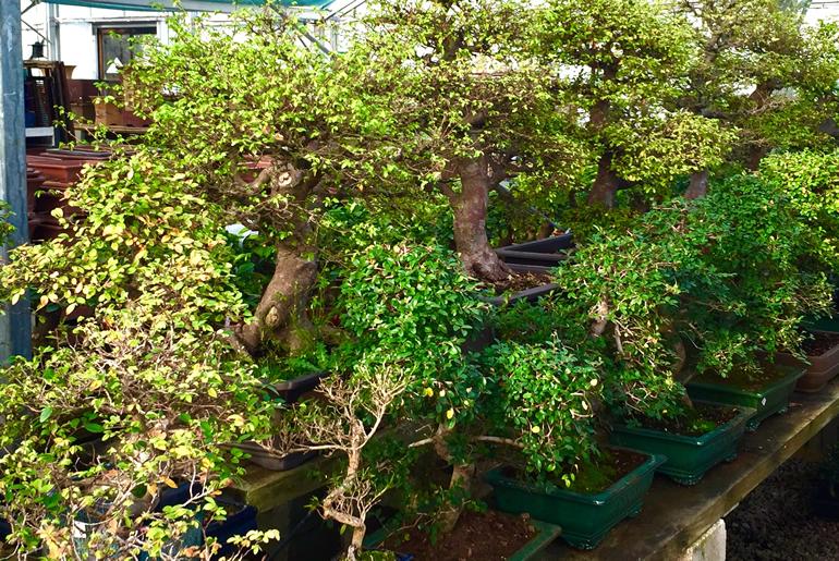 Ulmus Parvifolia Chinese Elm Bonsai Trees Herons