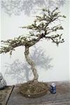 Japanese Bunjin Larch Bonsai Tree Herons Bonsai