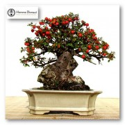 Flowering & Fruiting Bonsai Outdoor Trees