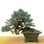 Evergreen Bonsai Outdoor Trees
