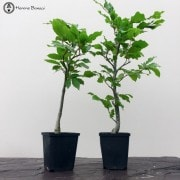 Young Starter Bonsai Trees