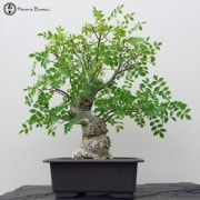 Semi-Trained Bonsai Trees