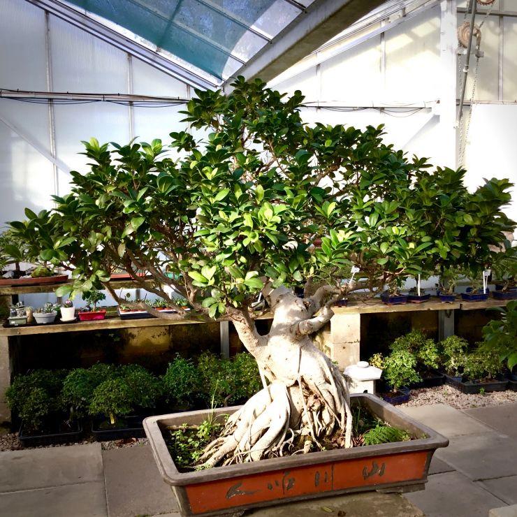 Large Ficus Bonsai Tree Bonsai Tree