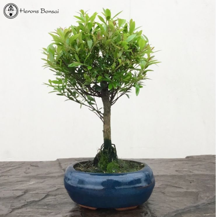Syzygium (Brush Cherry) Bonsai | £19 | Herons Bonsai