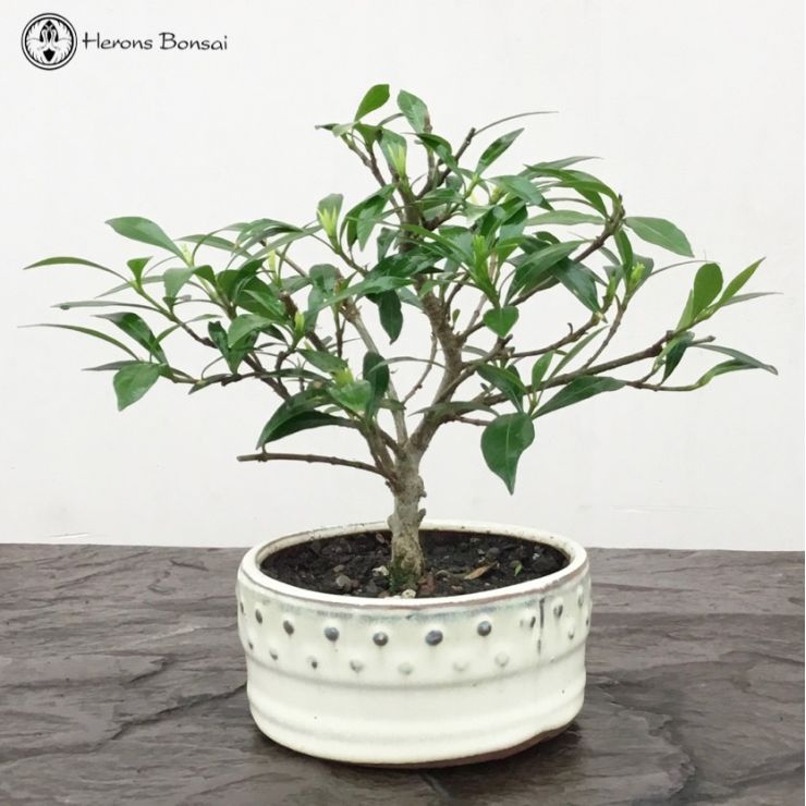 Gardinia Bonsai Tree | £25 | Herons Bonsai