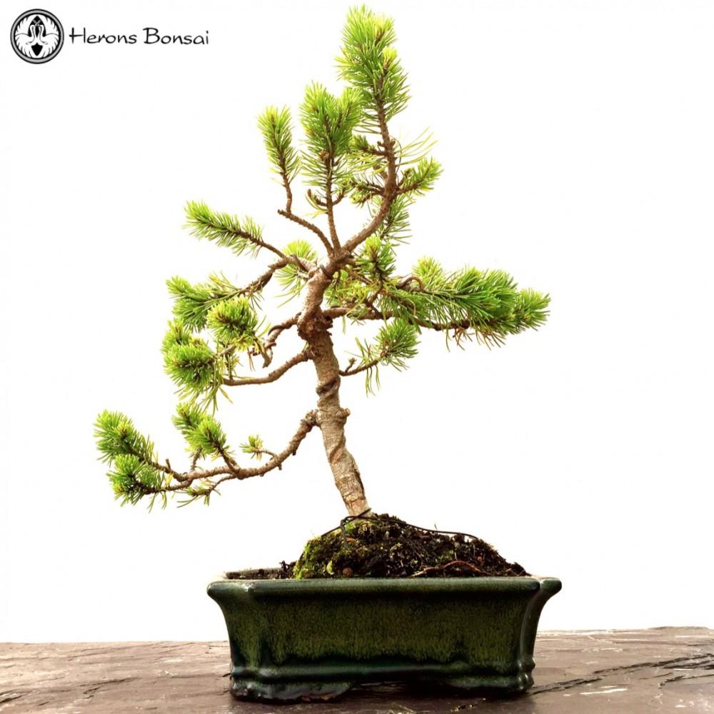 mugo pine bonsai tree herons bonsai. Black Bedroom Furniture Sets. Home Design Ideas