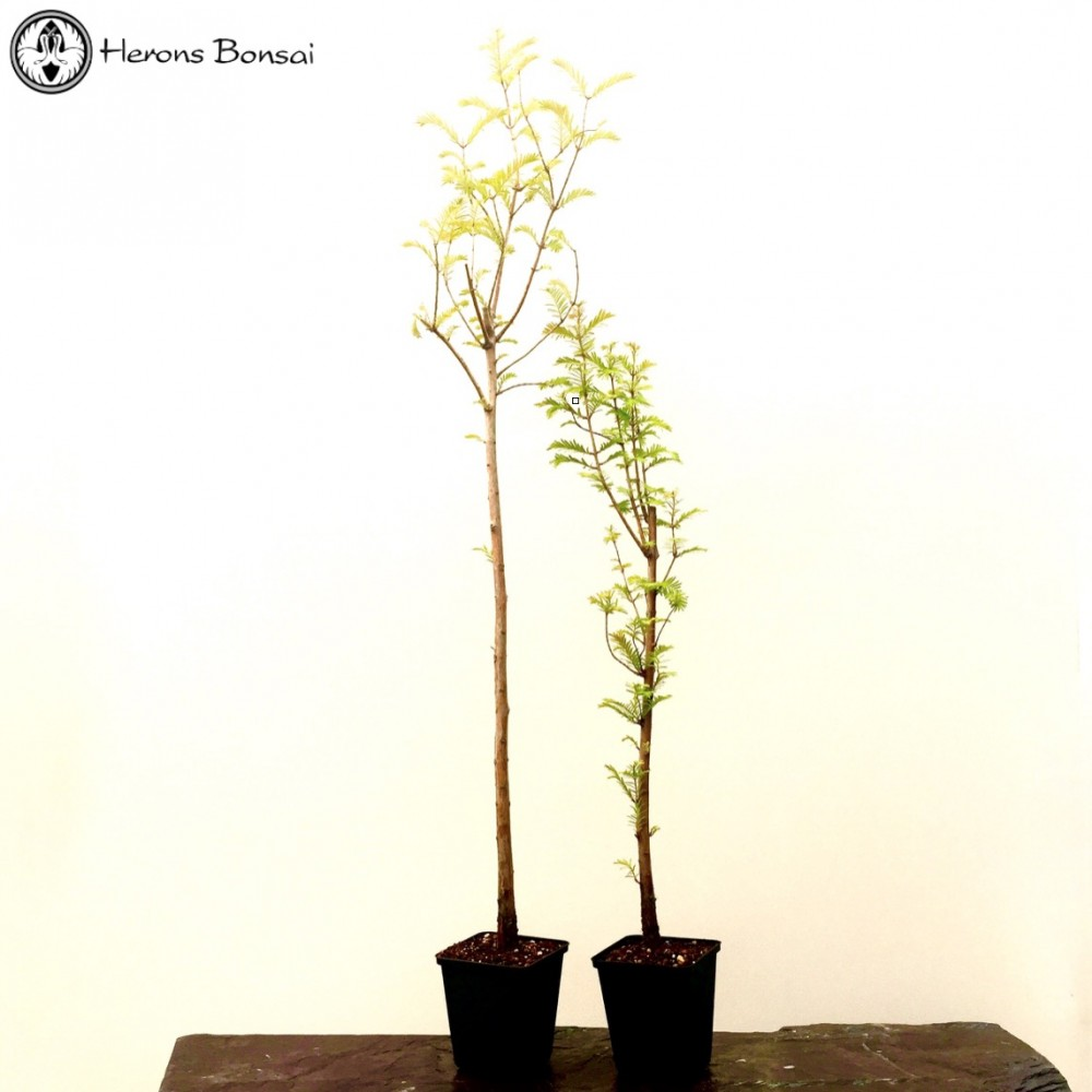 Dawn Redwood Starter Bonsai Trees