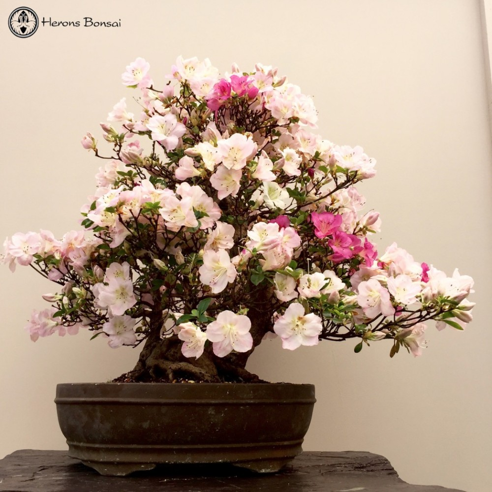 Semi CascadeSatsuki Azalea Bonsai Tree