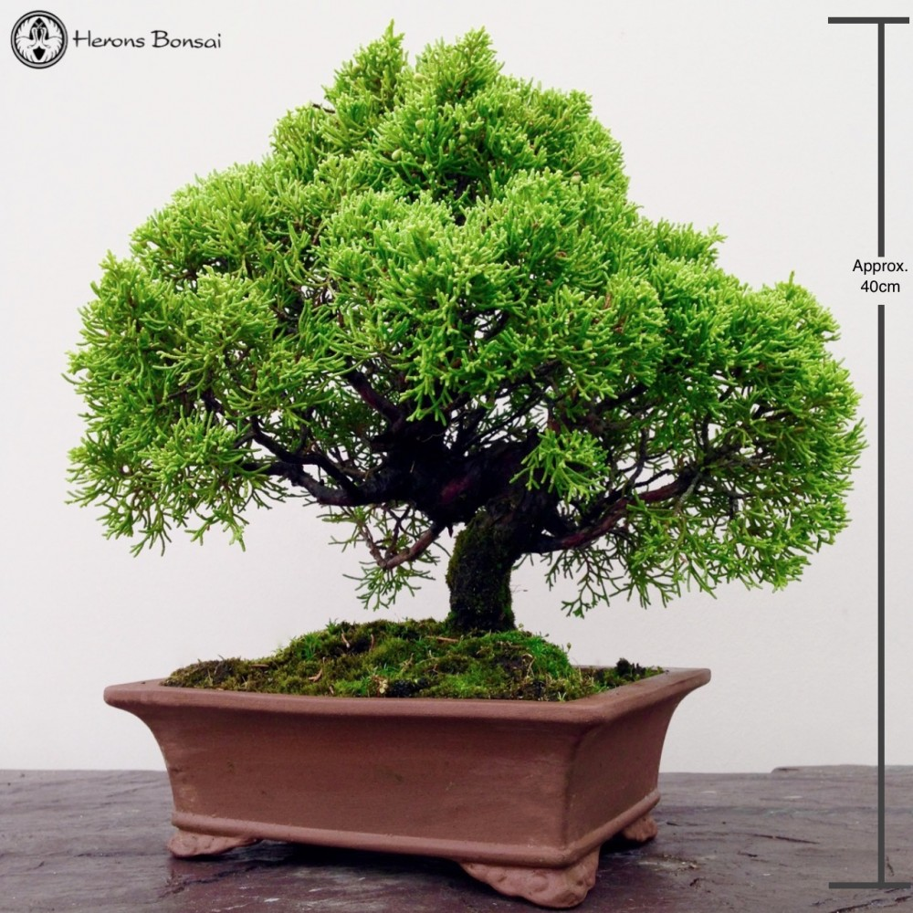 Cascade Style Chinese Juniper Bonsai Tree Herons Wiring Styles