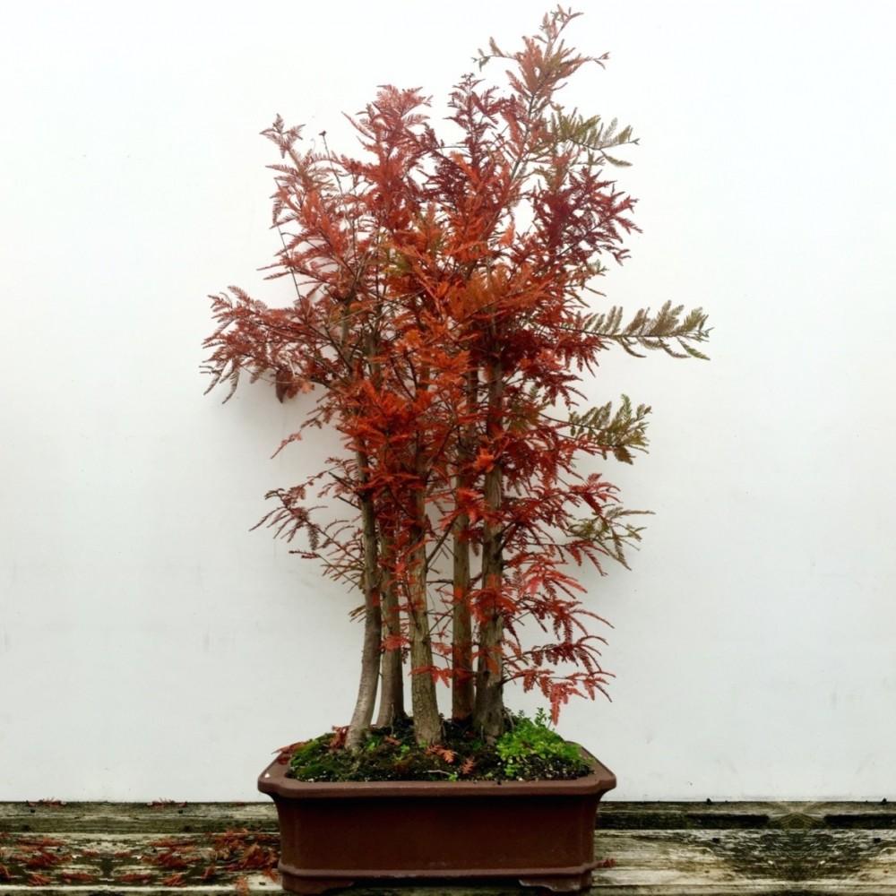 Dawn Redwood Bonsai Tree Forest