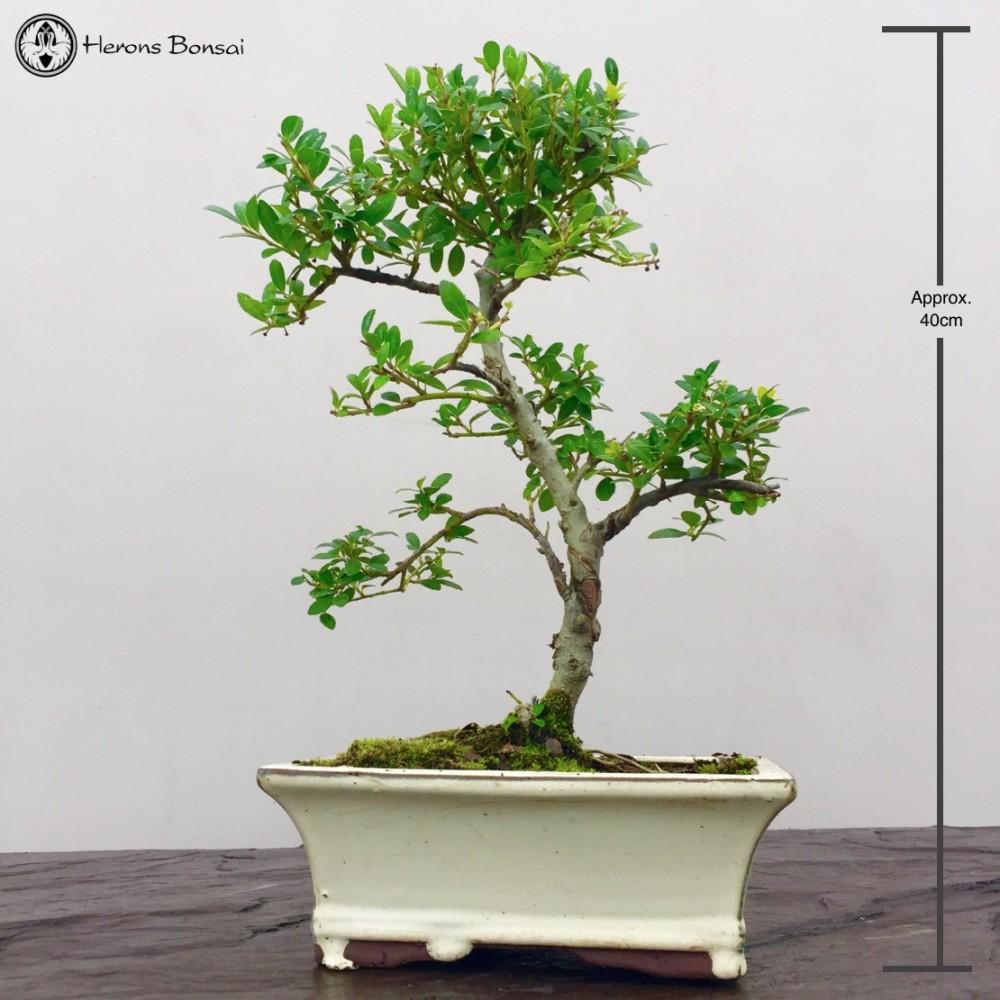 Ilex Crenata Japanese Holly Bonsai Tree Herons