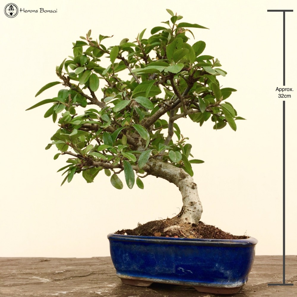 Pyracantha Bonsai Tree