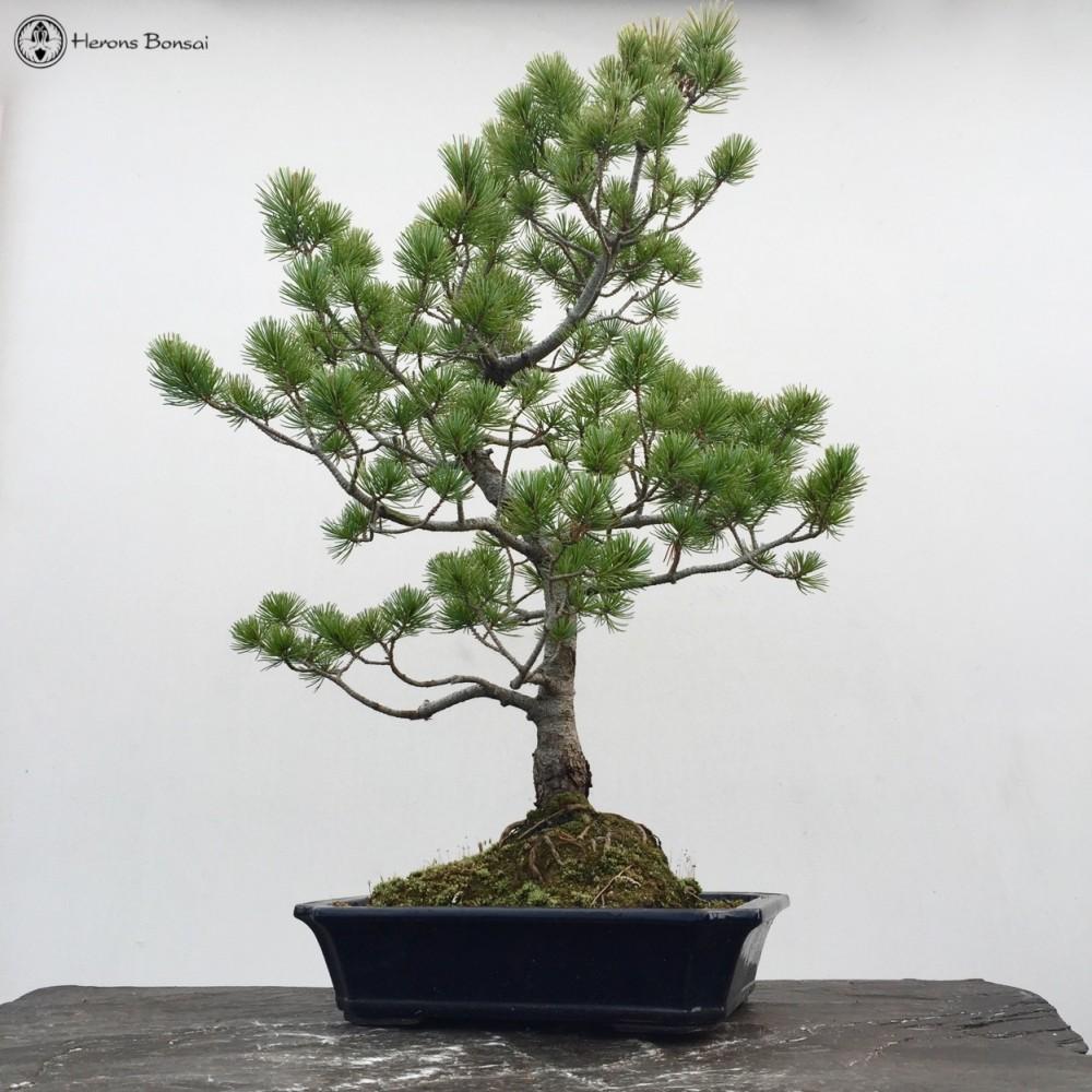 Excellent Japanese White Pine Bonsai Tree Herons Bonsai Wiring Cloud Pendufoxcilixyz