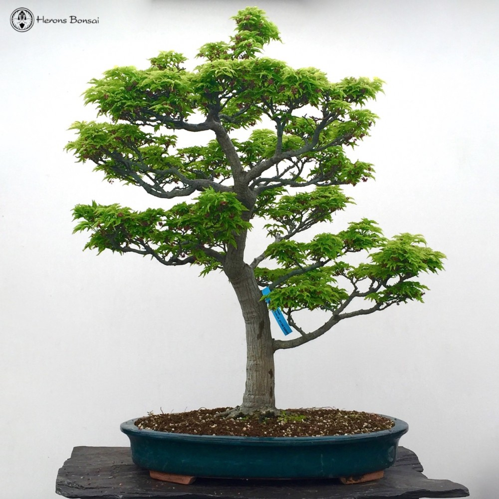Shishigashira Maple Bonsai Tree | Ungrafted