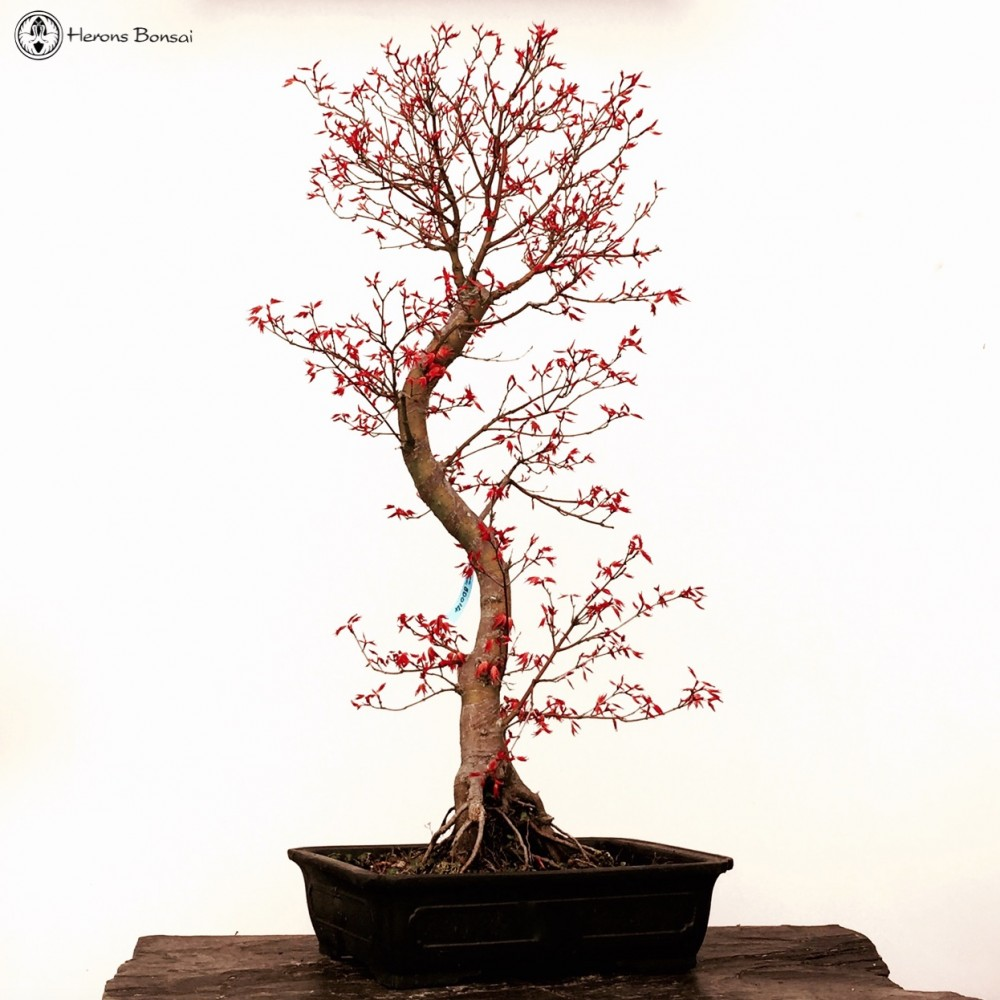 Benichidori Maple Bonsai Large