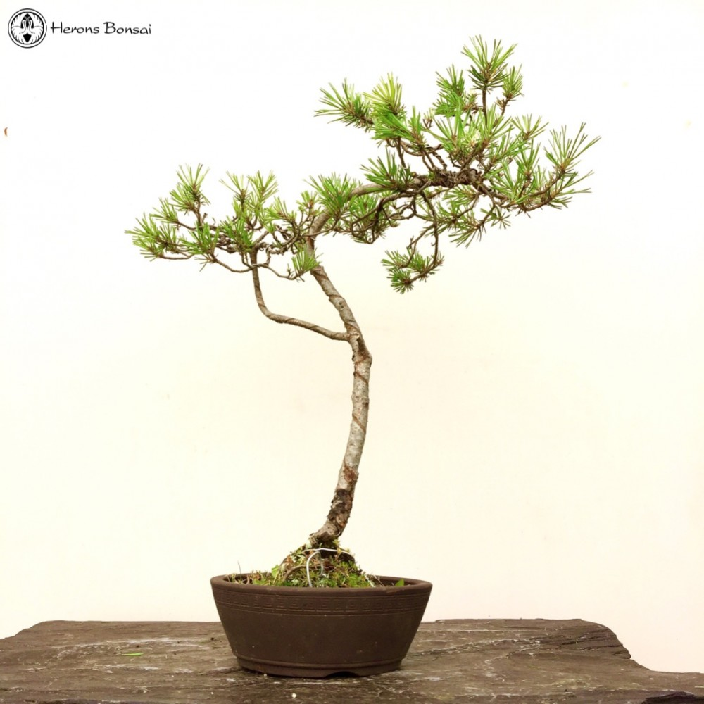 Product page for Literati bonsai gallery