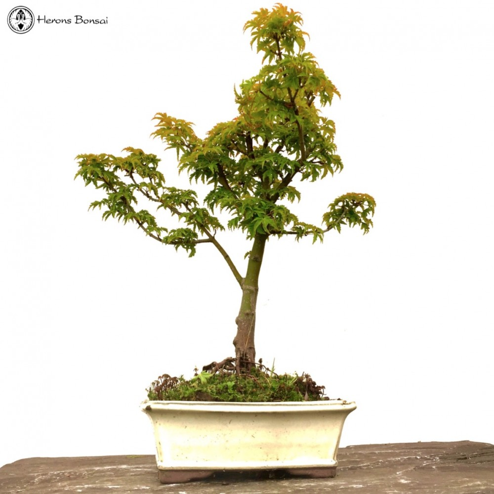 Ungrafted shishigashira maple bonsai tree for sale from for Maple trees for sale