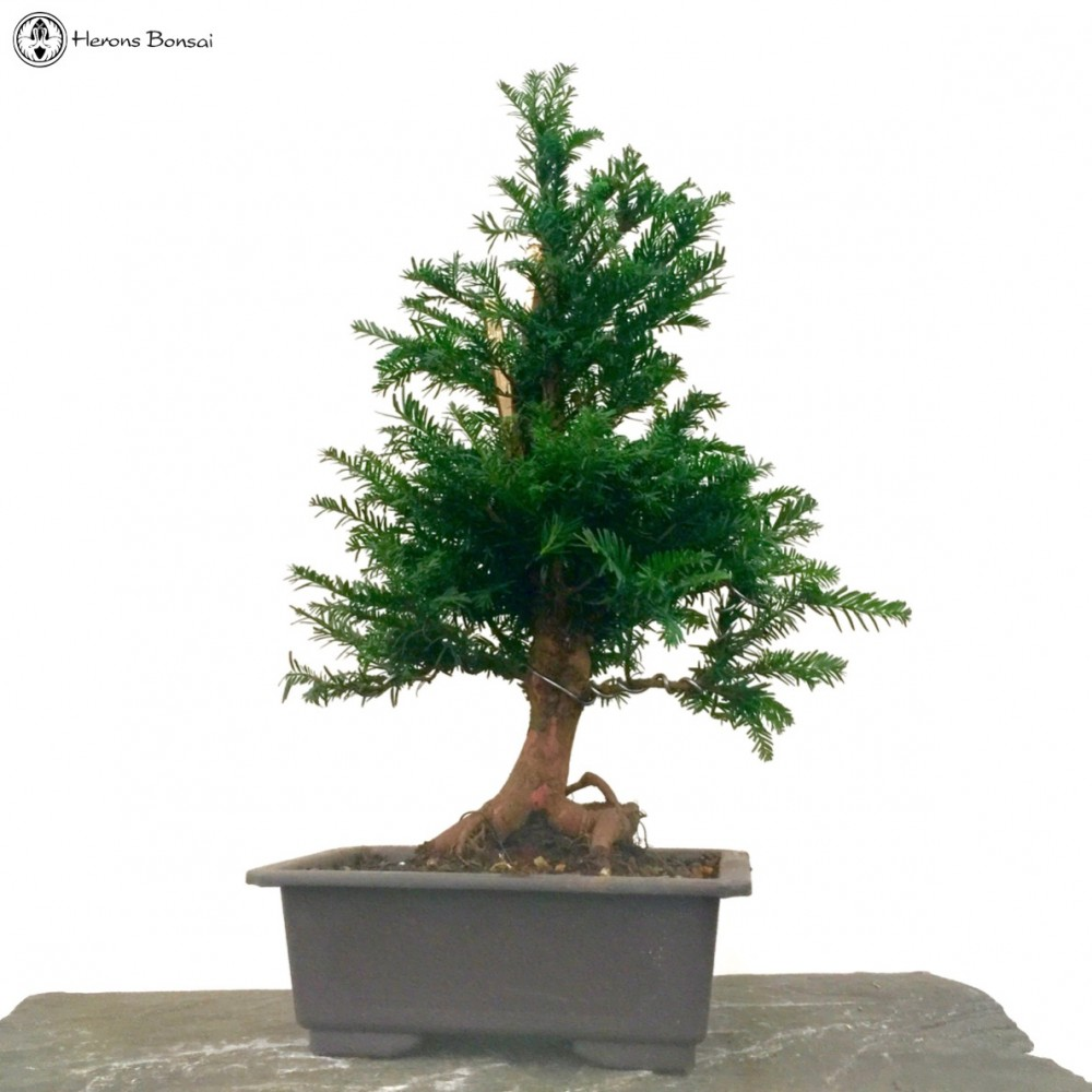 taxus baccata english yew bonsai tree semi trained rh herons co uk