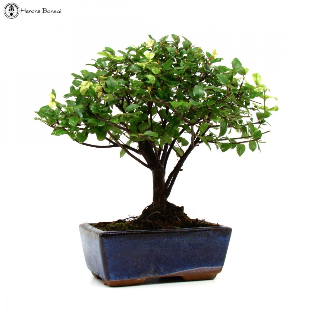 Small Sageretia Bonsai Tree