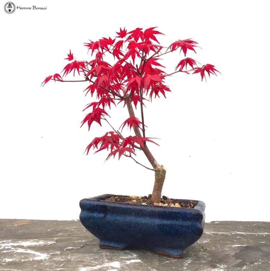 Red Deshojo Maple Bonsai Tree Starter Herons Wiring