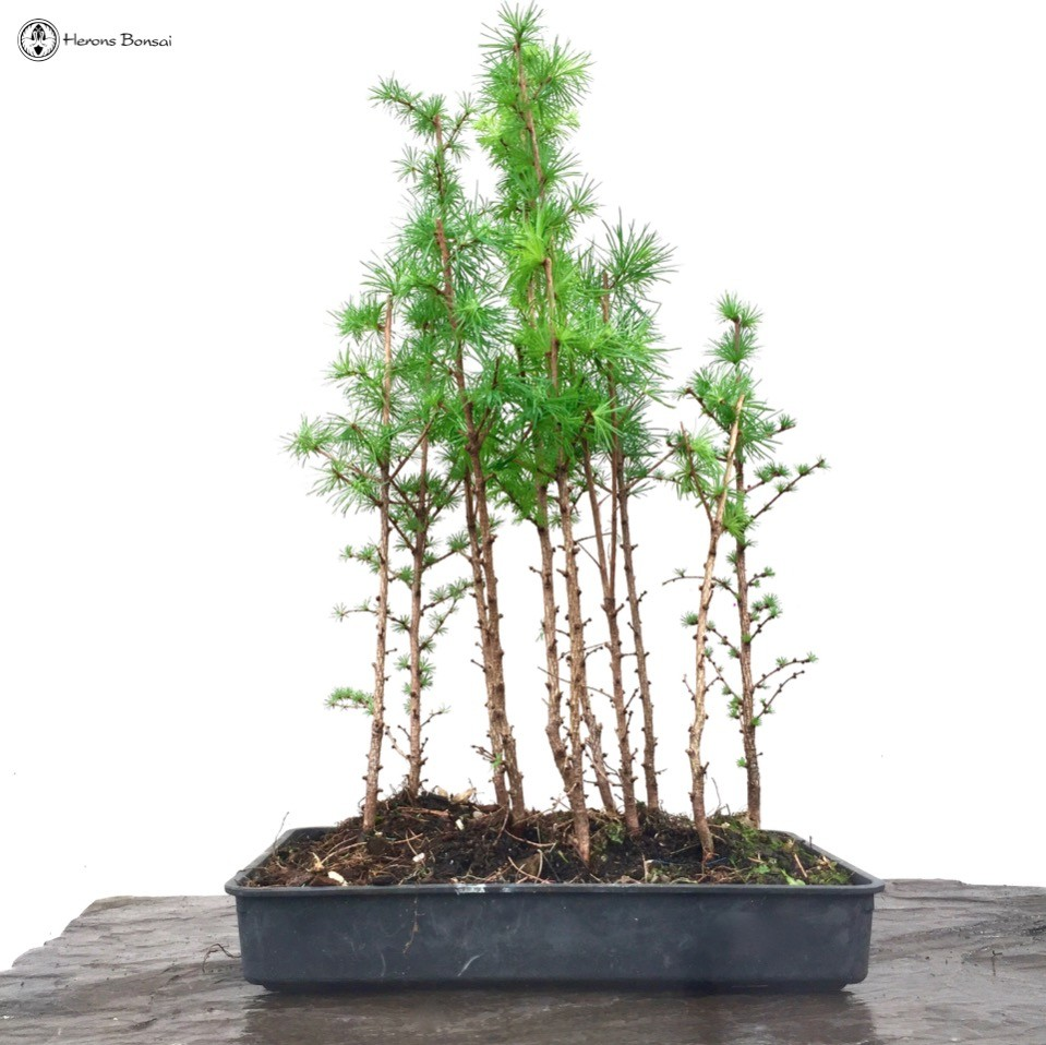 larch Group Forest Bonsai