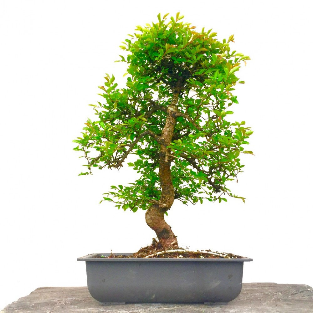 Chinese elm bonsai sale