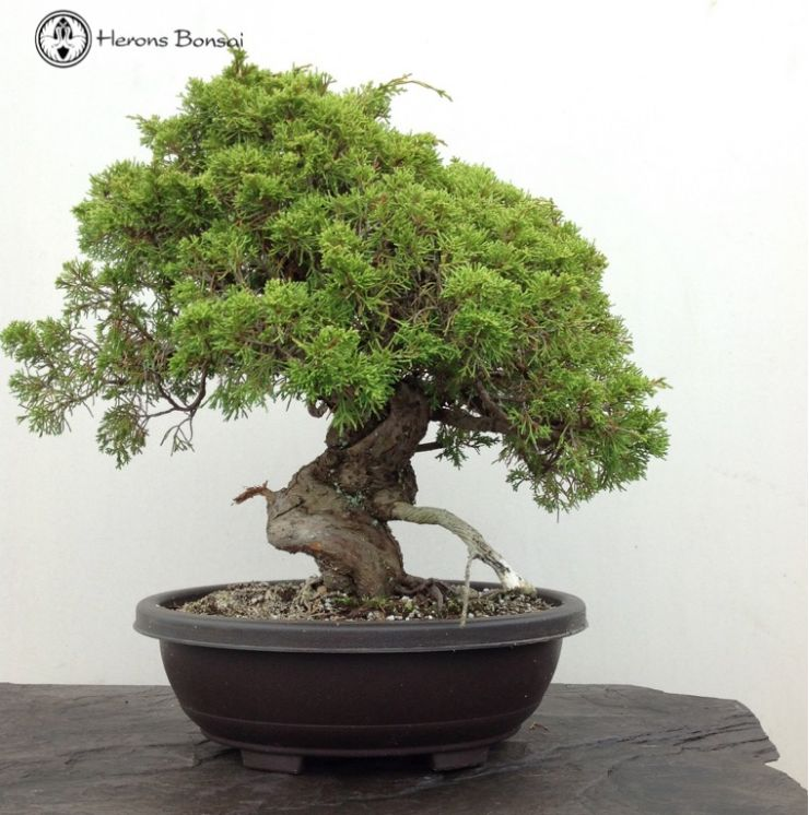 Chinese Juniper Bonsai Tree Herons Bonsai