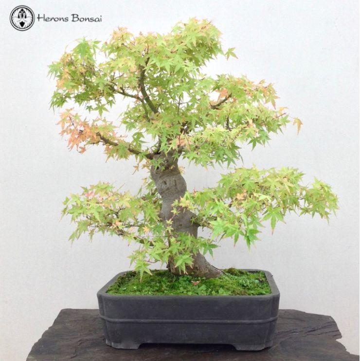Acer Palmatum Katsura Maple Bonsai Herons Bonsai