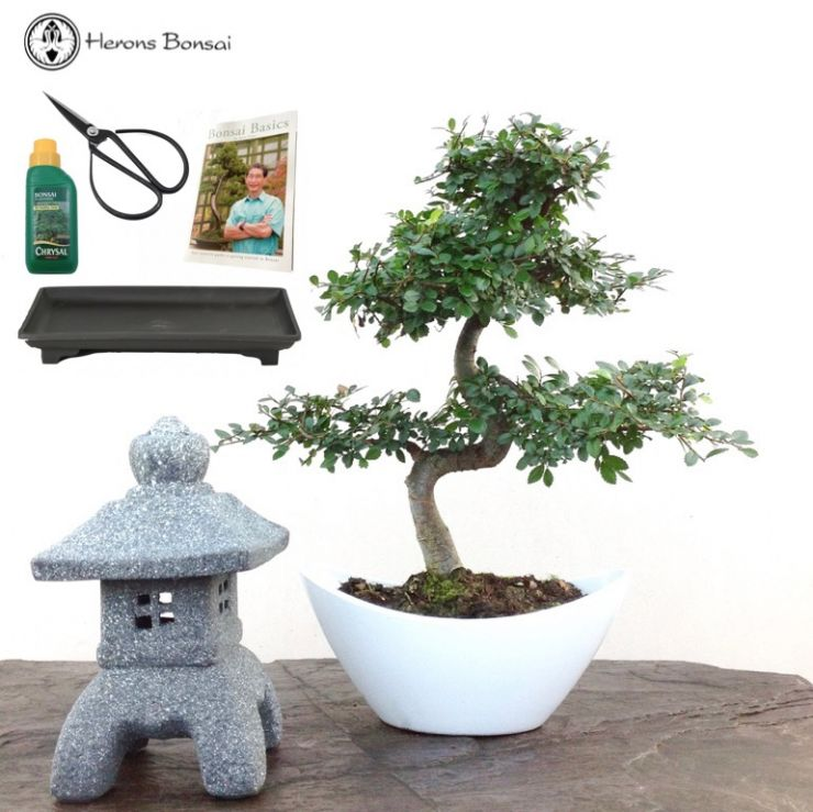 Chinese Elm Bonsai & Lantern | Special Offer