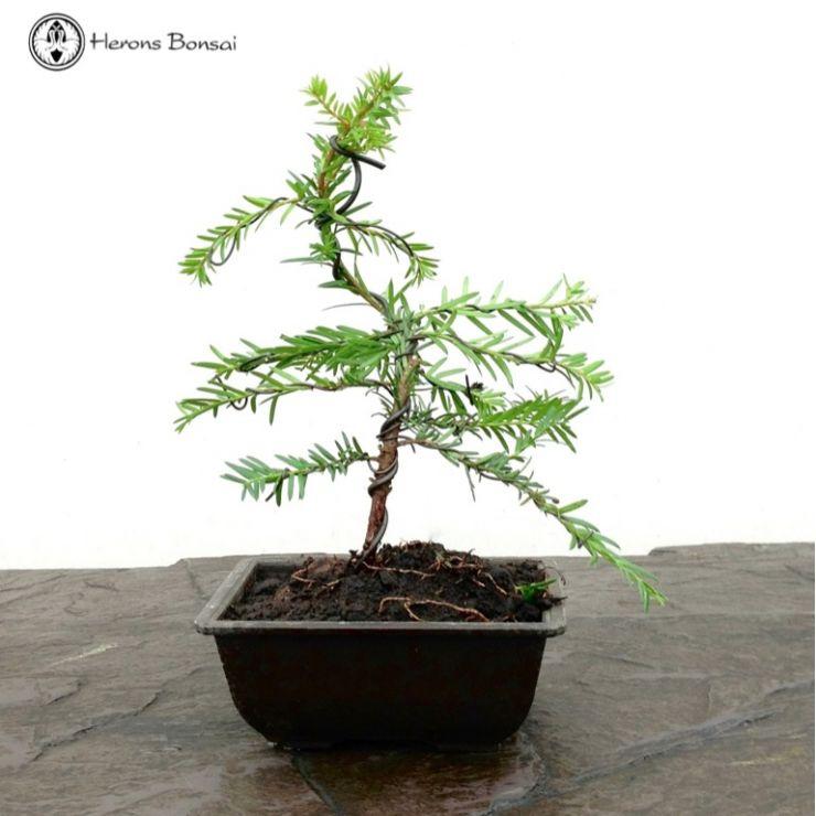 Bonsai Yew Tree For Sale Bonsai Tree