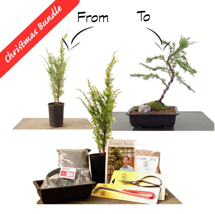 Juniperus communis 'Common Juniper' | Starter bundle