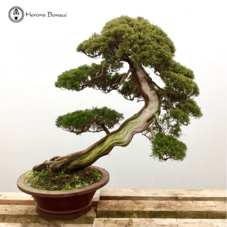 Chinese Juniper Itiogawa Specimen Bonsai Tree Herons