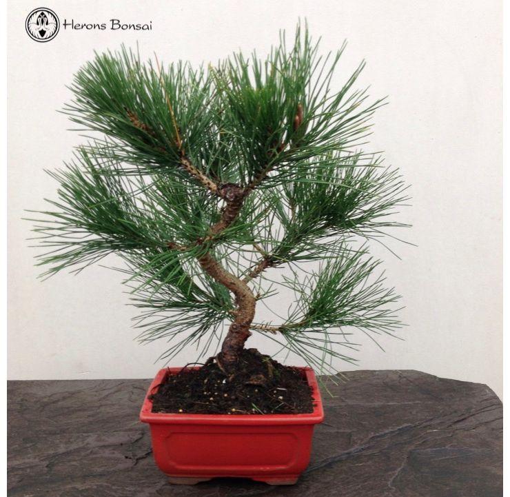Brilliant Japanese Wired Black Pine Bonsai Tree Herons Bonsai Wiring Digital Resources Jebrpcompassionincorg