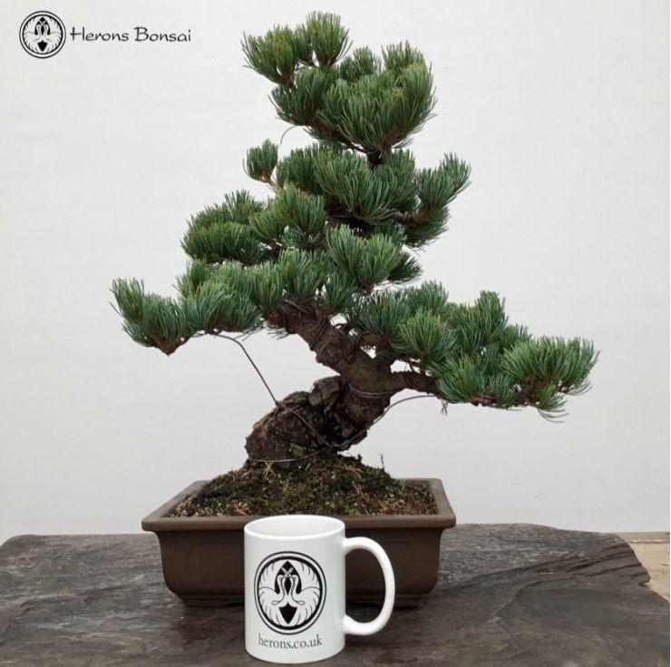 Tremendous Japanese White Pine Bonsai Tree From Herons Bonsai Wiring Cloud Pendufoxcilixyz