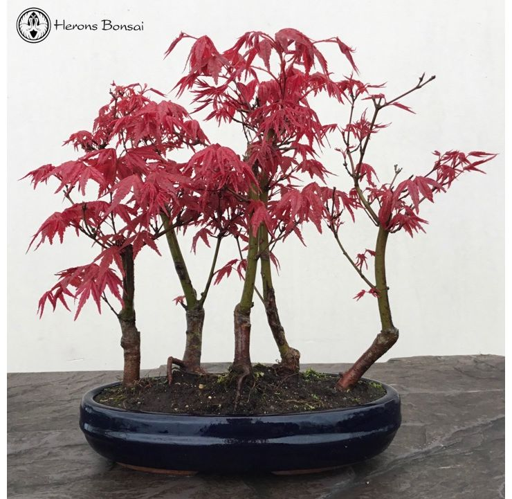 Acer Palmatum Red Deshojo Maple Group | Herons Bonsai