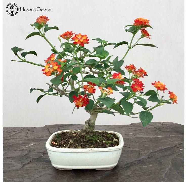 Flowering Lantana Bonsai Tree Indoor Bonsai Tree Herons Bonsai