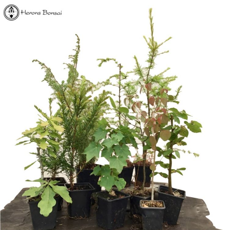 Special Summer Bonsai Starter Tree Bundle | 10 Trees