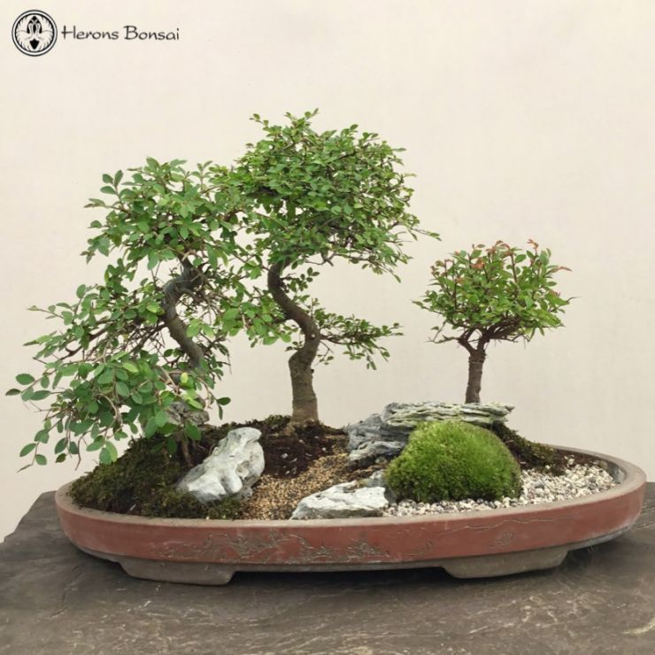 Ulmus parvifolia 'Chinese Elm' Landscape with Rocks