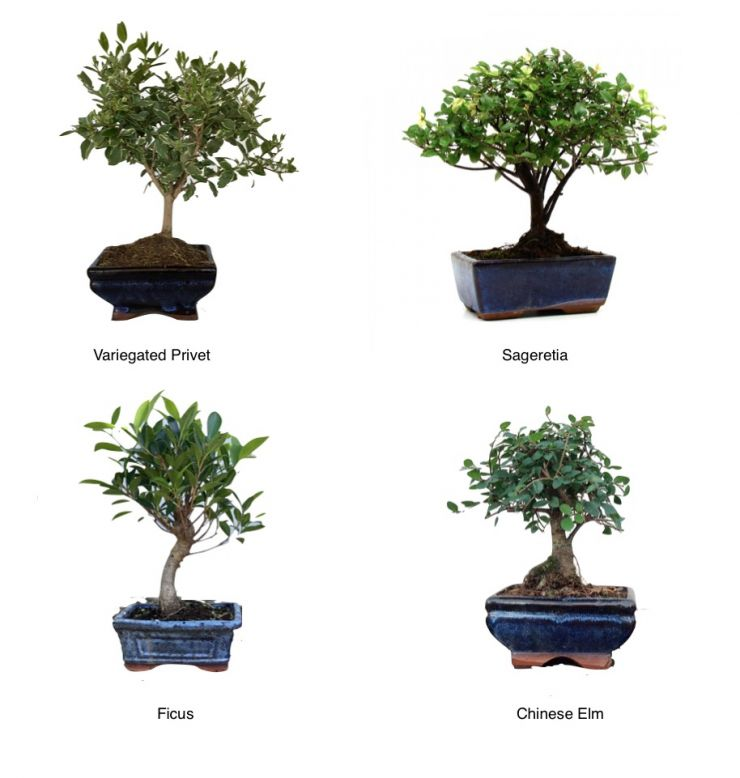 Mix and Match 2 Small Bonsai Trees