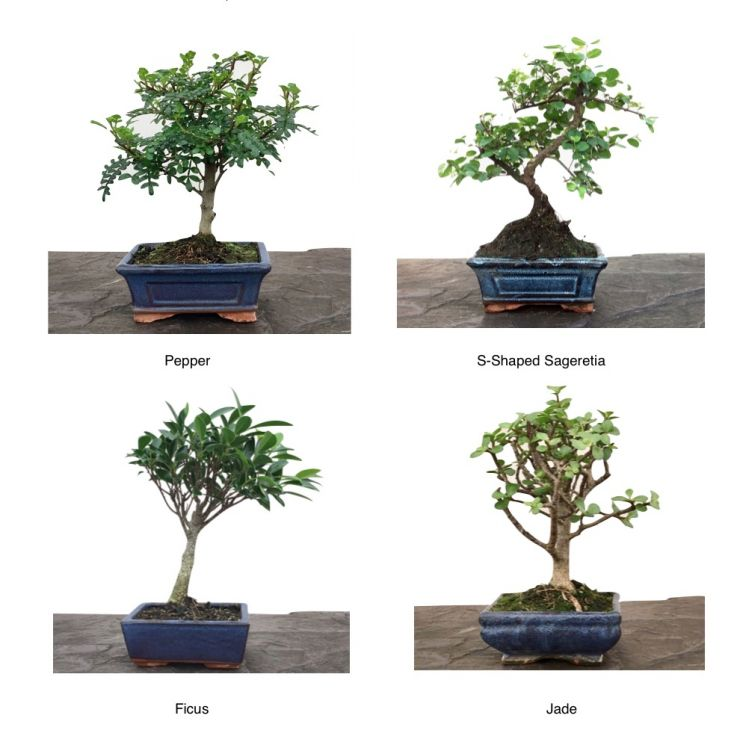 2 medium bonsai trees | special offer