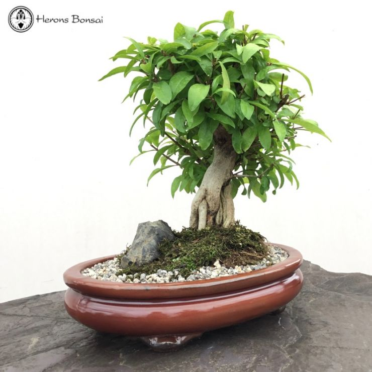Pomegranate Bonsai In Tokoname Pot