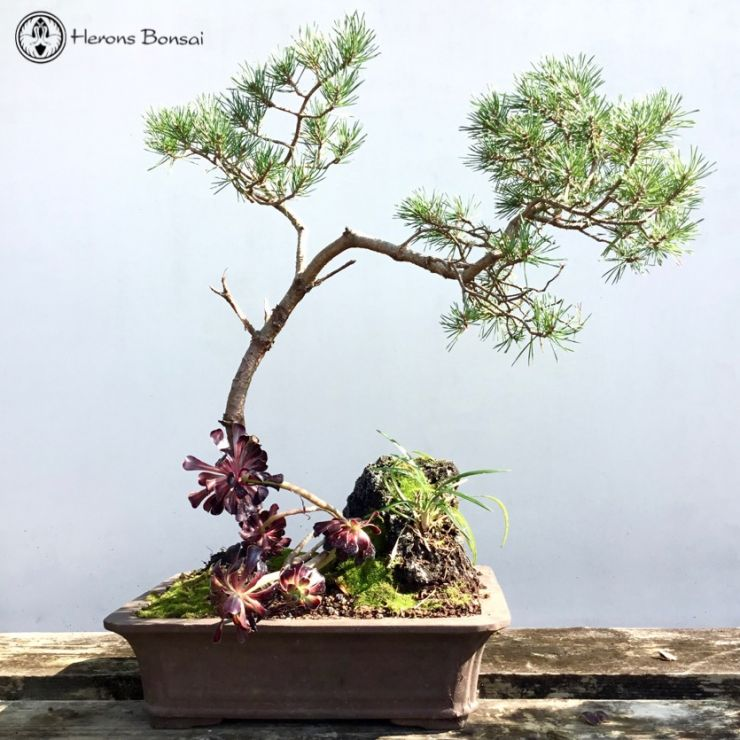 Beuvronensis Scots Pine with Rock and Succulents