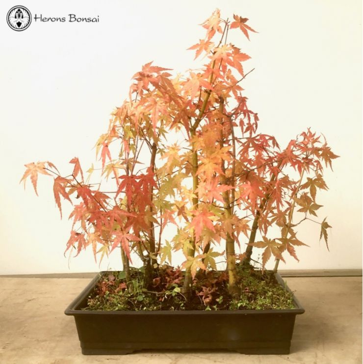 Red Japanese Maple Forest