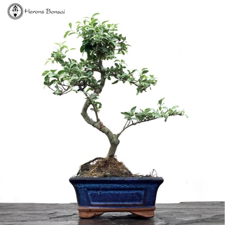 Ligustrum 'Chinese Privet' | S-Shape
