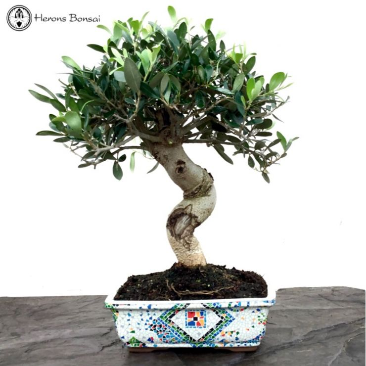 Fruiting Olive Bonsai | Mosaic Style pot
