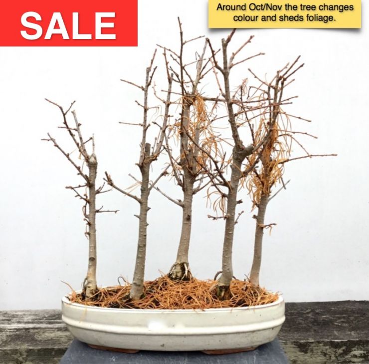 Chinese Larch Group Bonsai Forest - 5 Trees | Herons Bonsai