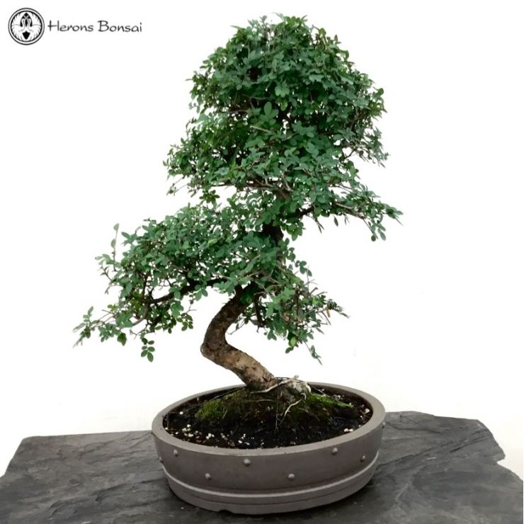 Ulmus parvifolia 'Chinese Elm' | Drum Pot