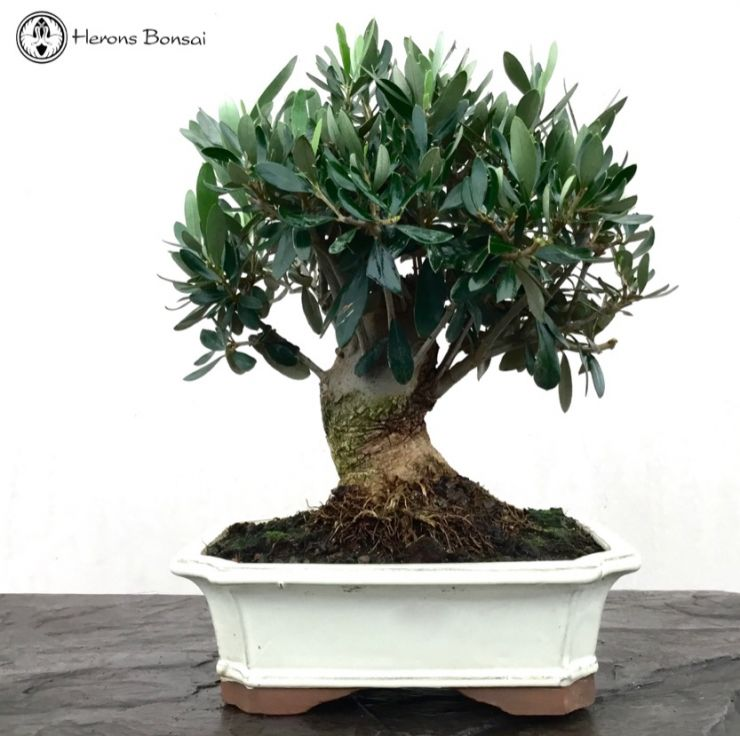 Fruiting Olive Bonsai | Herons Bonsai