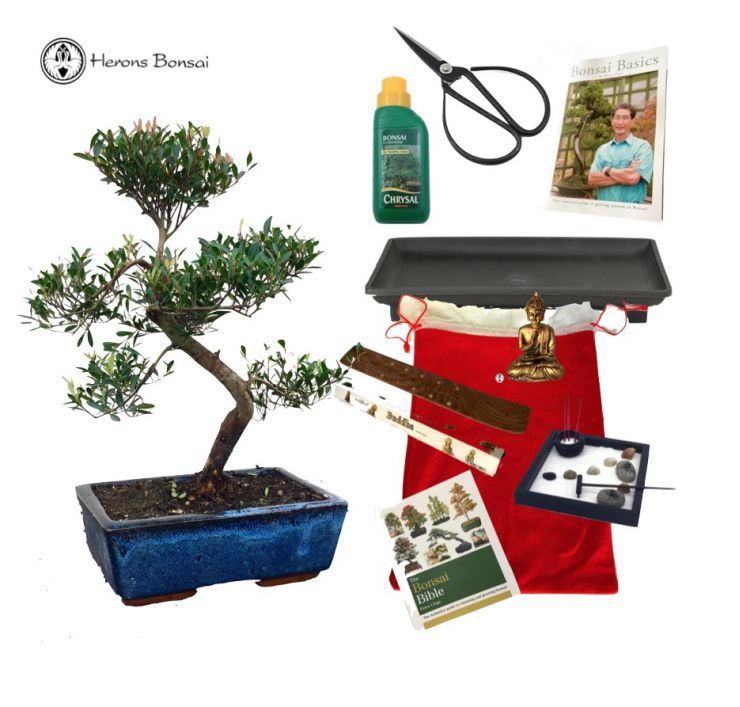 Festive Brush Cherry Bonsai Gift Pack